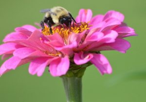 Bumblebee on Pink with yellow center flower